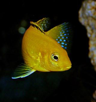 Fish, Yellow, African Cichlid, Blue, Fin, Labidochromis