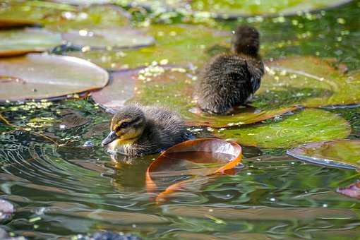 Ducklings, Duck, Cute, Animal, Small, Fluffy