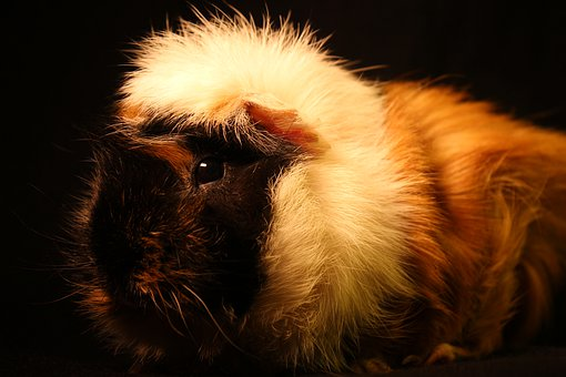 Sea pig, Fur, Animal, Face, Rodent, Animal World