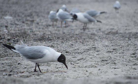 Seagull, Sea, Sand, Gulls, Bird, Animals, Birds, Nature