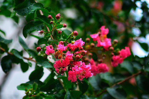 Crape Myrtle, Flower, Beautiful, Natural, Landscape