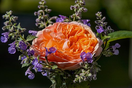 Rose, Blossom, Bloom, Romantic, Flowers, Beauty, Noble