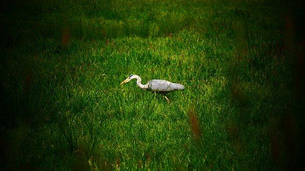 Heron, Hunting, Hunt, Bird, Nature, Pond, Birds, Wait