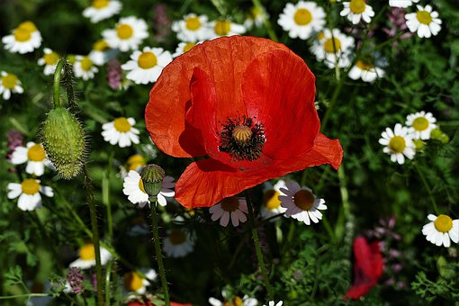 Poppy, Blossom, Bloom, Klatschmohn, Bud, Fruit Capsule