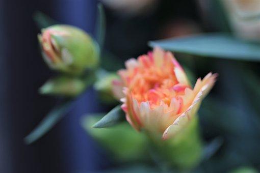 Yellow Pink Carnation, Buds, Flower, Blooming, Morning