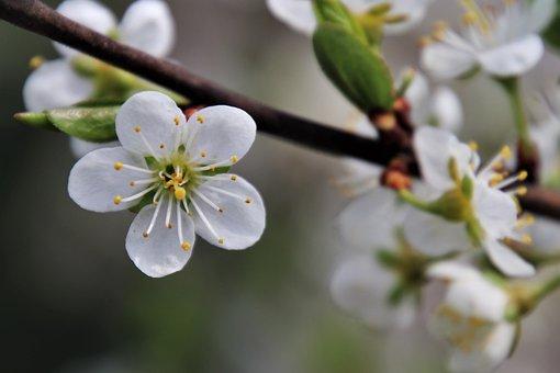 The Petals, White, Stamens, Cherry Blossom