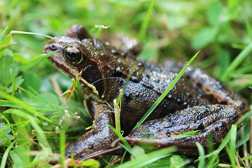 Frog, Eyes, Green, Amphibian, Toad, Nature, Close Up