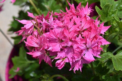 Flower, Flower Geranium, Color Pink, Green Leaves