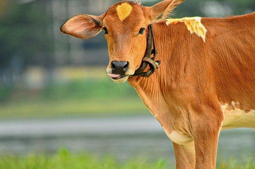 Dairy Cow, Beautiful, Comfort, Land, Natural, Evening