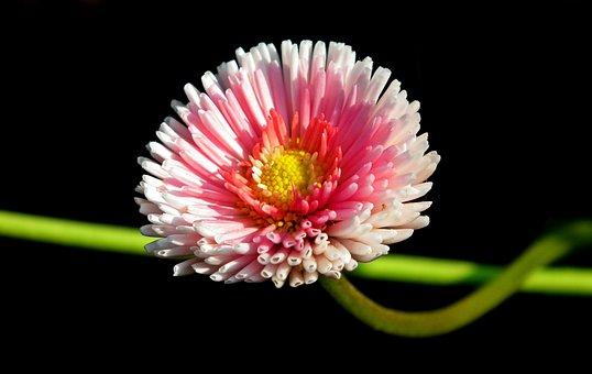 Daisy, Flower, Spring, Garden, Pink, Nature, The Petals