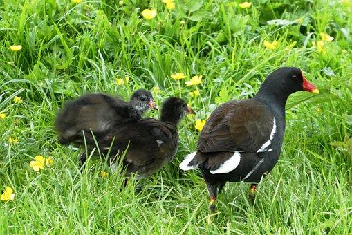 Waterhoentje Boy, Chicks, Fledglings, Waterhoentjes