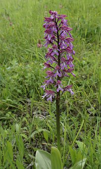Helmet Orchid, Wild Orchid, Flower
