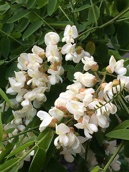 Flowers White, Flower Panicle, Branches, Plant, Nature