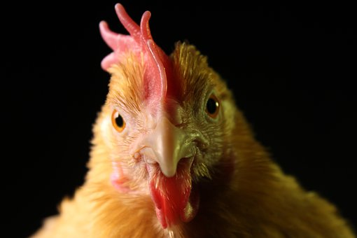 Chicken, Hen, Poultry, Free Range, Agriculture, Nature