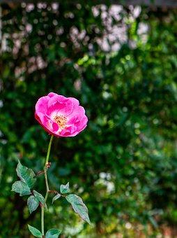 Rose Hip Oil, Rosa, Flower, Garden, Health