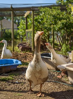 Geese, Pomeranian Geese, Guards, Livestock, Protect