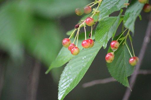Cherries, Harvest, Fruit, Cherry, Ripe, Red, Food
