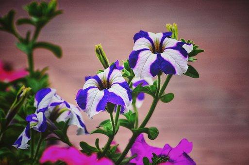Iris, Showy Flower, Plant, Beautiful, Natural