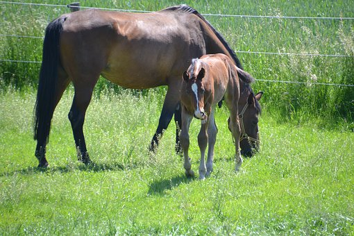Mare, Mother Mare, Foal, Colt, Horse, Graze, Brown