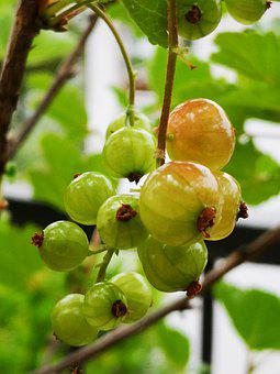 Currant, Fruit, Nature, Green, Acerbo