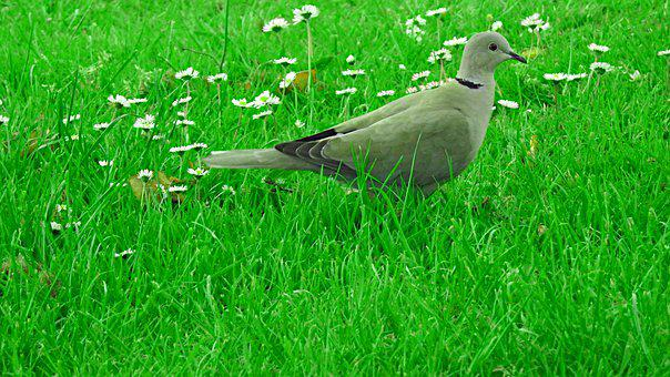 Dove, Bird, Green, Nature, Animal, Grass, Plants