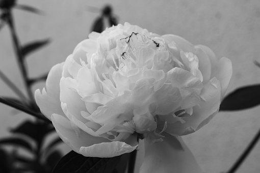 Peony, Flowers, Black And White, Nature, Romantic