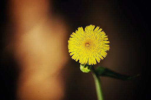 Dandelio, Flower, Plant, Stubborn, Beautiful, Yellow