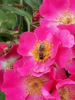 Insect, Bees, Bee, Rose, Nectar, Pollen