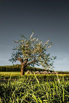 Flowering Cherry, Rapeseed, Blooms, Fields, Way, Tree