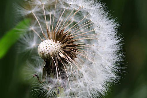 Dandelion, Seeds, Flowers, Plants, Nature, Macro, Close