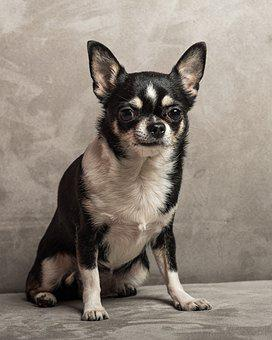 Chihauha, Dog, Pet, Animal, Canine, Domestic, Small