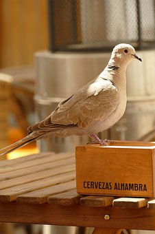 Collared Dove, Streptopelia Decaocto, Turtle Dove