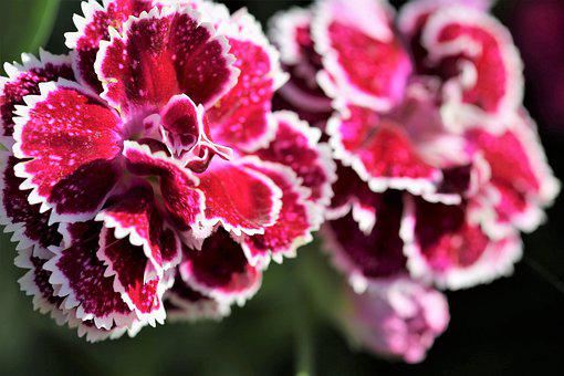 Violet Carnations, Flowers, Blooming, Sun Ray, Morning