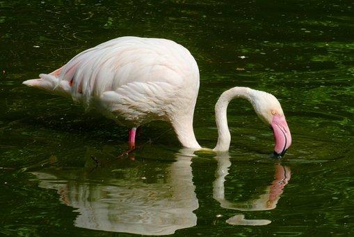 Flamingo, Pond, Bird, Water, Beak, Feathers, Fauna