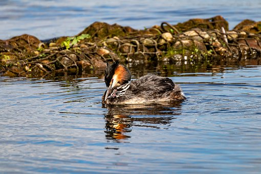 Great Crested Grebe, Young, Water Bird, Baby, Nature