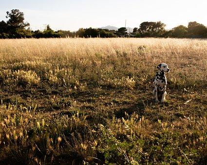 Dog, Dalmatian, Golden Hour, Field, Shadow, Animal