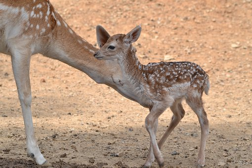 Deer, Mother, Cute, Fawn, Baby