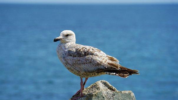 Seagull, Seevogel, Animal, Baltic Sea, Bird, Plumage