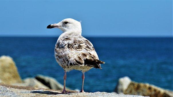 Seagull, Bird, Animal, Sea, Baltic Sea, Sassnitz, Rügen