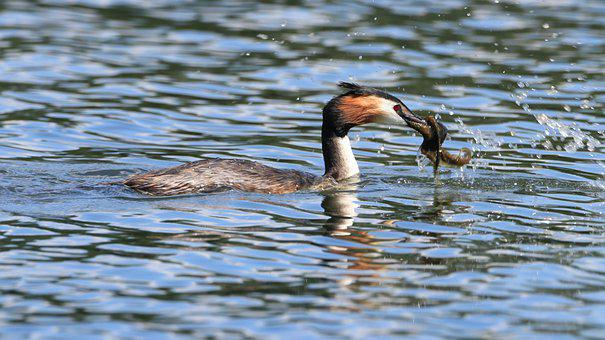 Great Crested Grebe, Lake, Water, Waters, Bird, Nature