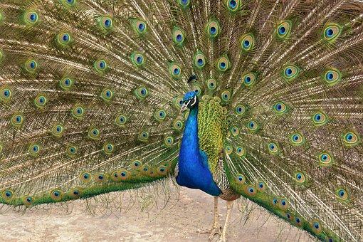 Bird, Pheasant, Animal, Feathers, Nature, Beak, Poultry