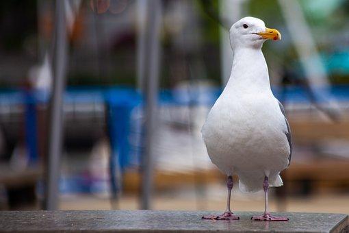 Gull, Seevogel, Bird, Sea, Nature, Water Bird