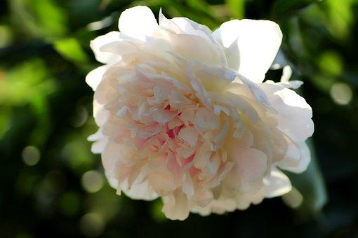 Peony, Pentecost Rosengewächs, Blossom, Bloom, Flower