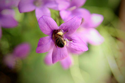Insect, Bee, Honey Bee, Collect Nectar, Nectar, Blossom