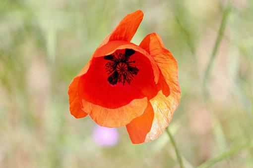 Poppy, Poppy Flower, Klatschmohn, Red, Blossom, Bloom