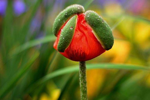 Poppy, Capsule, Summer, Close Up, Blossom