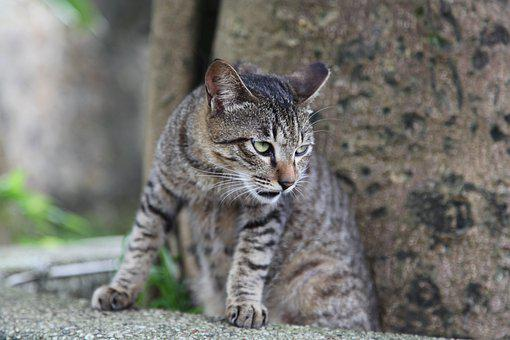 Cats, Angry, Animal, Pet, Face, Nature, Eyes, Tabby