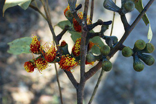 Nature, Plants, Outback, Eucalypt, Seed Pod, Red