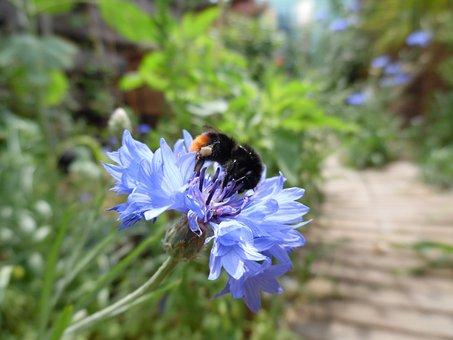Cornflower, Flower, Nature, Summer, Wildflowers, Spring