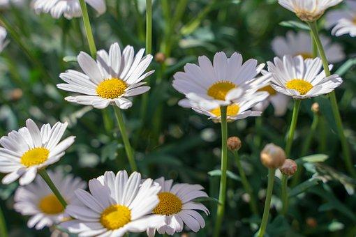 Flowers, Margarethen, Daisies, Bloom, White, Nature
